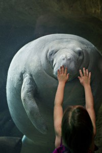 A manatee swimming at the Dallas World Aquarium Photo credit: Laura Seewoester-Bute